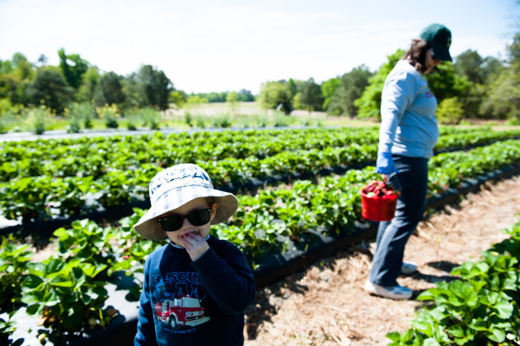 Two-year-old Timothy Ritter eats a strawberry while his mother Robin Ritter looks for strawberries to pick at Karen Frye's Strawberry Farm, Karefree Farms, off 15-501, on Tuesday, April 28, 2015 in Carthage, North Carolina. The Ritters are from Burlington and spending time with in-laws, from Robbins, at the strawberry farm.