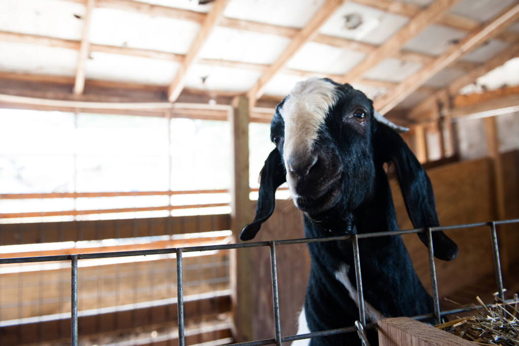 A goat stands against its metal stall divider at D and J Goat Farms on Friday, October 16, 2015 near Robbins, North Carolina. Jackie Bean and his son Derek Bean have been raising livestock for years, specializing in goats for almost a decade. The farms produce commercial stock, breeding stock and show stock Boer goats.