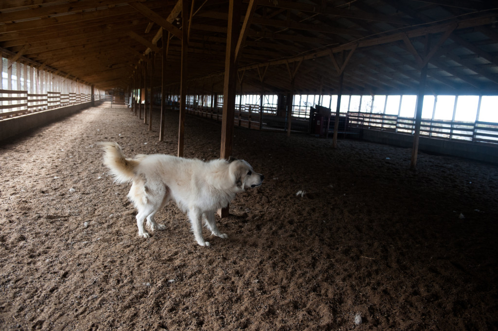 Joe, the goat herder and guard dog, shakes after jumping around as people walk through the barn at D and J Goat Farms on Friday, October 16, 2015 near Robbins, North Carolina. Jackie Bean and his son Derek Bean have been raising livestock for years, specializing in goats for almost a decade. The farms produce commercial stock, breeding stock and show stock Boer goats.