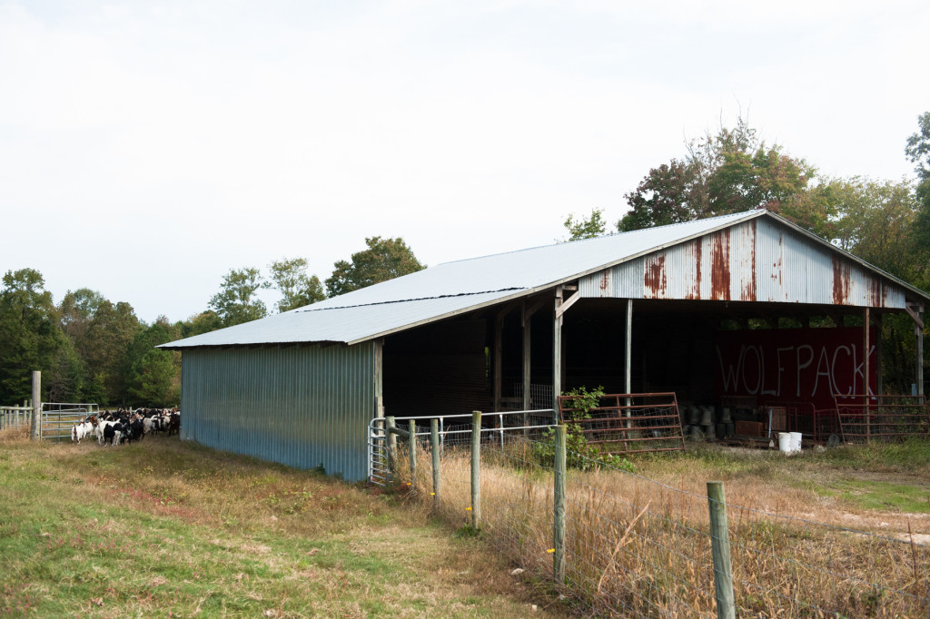 Goats wander out to pasture (far right) at D and J Goat Farms on Friday, October 16, 2015 near Robbins, North Carolina. Jackie Bean and his son Derek Bean have been raising livestock for years, specializing in goats for almost a decade. The farms produce commercial stock, breeding stock and show stock Boer goats.